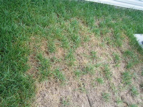 Fungus On Lawn?? (grass, Worm, Watering, Cut)