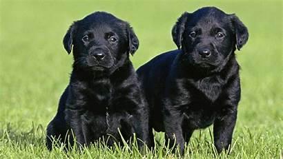 Lab Puppy Labrador Dog Retriever Wallpapers Characteristics