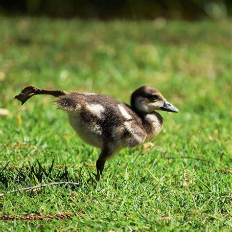 comment cuisiner le foie gras pourquoi le foie gras va t 39 il finir par vous gaver 8