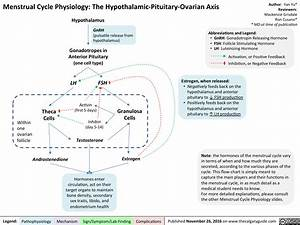 Menstrual Cycle Physiology  The Hypothalamic