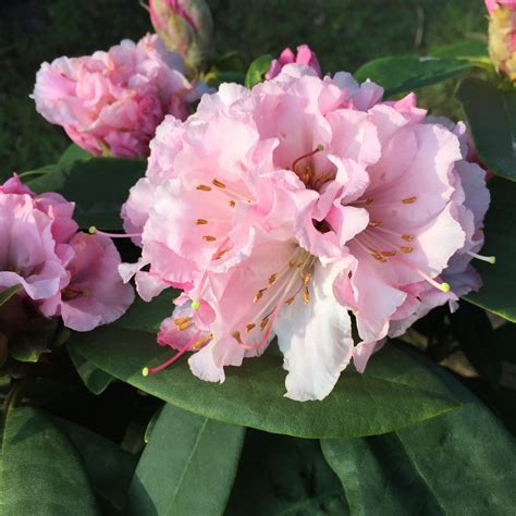 rhododendron buy buy hybrid rhododendron rhododendron christmas cheer caucasicum hybrid delivery by crocus