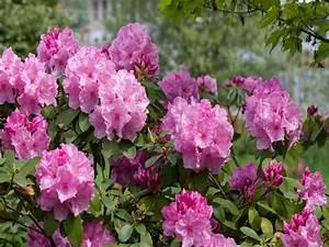 Rhododendron Blüten Schneiden : rhododendron schneiden die besten pflegetipps auf pflege tipps garten ~ A.2002-acura-tl-radio.info Haus und Dekorationen