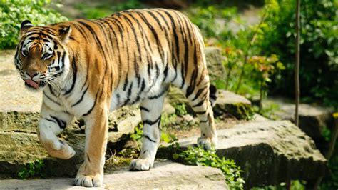 tiger animal wallpaper desktop backgrounds