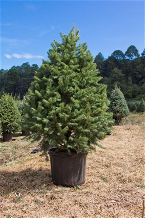 reforestaci 243 n de 225 rboles de navidad toque de mujer - Arboles De Navidad Vivos