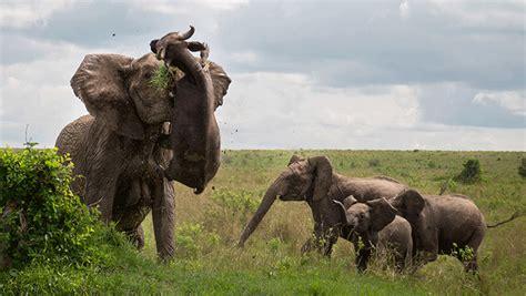 nra hunters leadership forum elephants cape buffalo