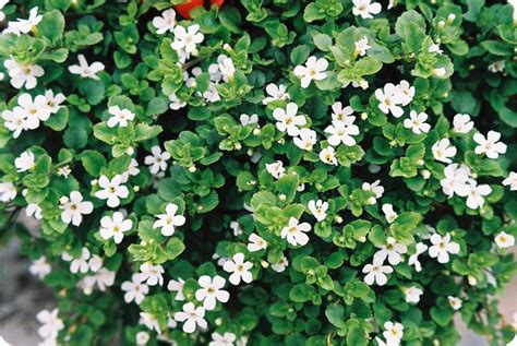 ground cover with white flowers ground cover garden coach photos