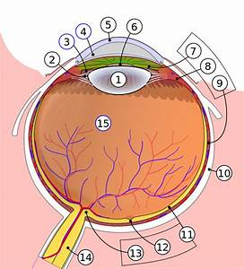 File Schematic Diagram Of The Human Eye Svg