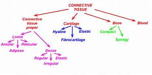 Connective Tissue Lesson  U2013 Anatomy And Physiology Of Human
