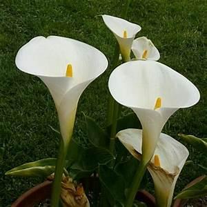 Arum Dans La Maison : l arum belle de loin ~ Melissatoandfro.com Idées de Décoration