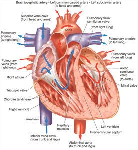The arteries, which carry the blood away from the heart; Cardiovascular System   Carlson Stock Art