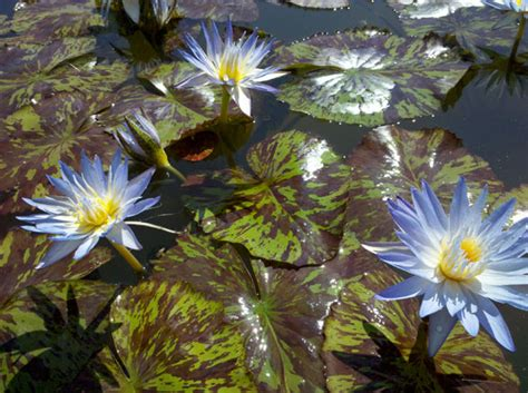 Blue Tropical Water Lilies Star Of Siam
