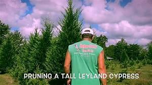 Pruning A Tall Leyland Cypress  Final Edit
