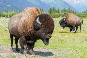 bison  buffalo awcc
