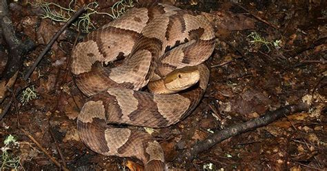 How To Identify A Copperhead Snake: What Makes It Different?