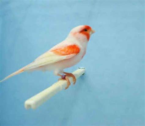 canary color color bred canary pondok kenari bird farm