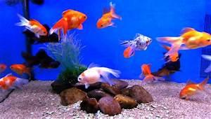 Poisson Aquarium Eau Chaude : stock liste des poissons d 39 eau douce de jardiland lattes ~ Mglfilm.com Idées de Décoration