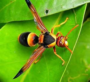 Australian Hornet