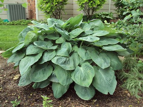 are hostas annuals or perennials johnsons legacy landscapes shade loving plants hostas the easy to grow perennial