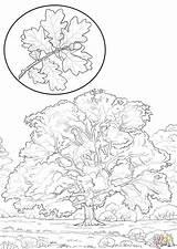 Oak Coloring Tree Northern Drawing Pages Printable Trees Getdrawings Paper Categories sketch template