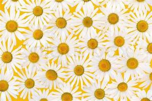 Fresh daisies flower heads over yellow background ...