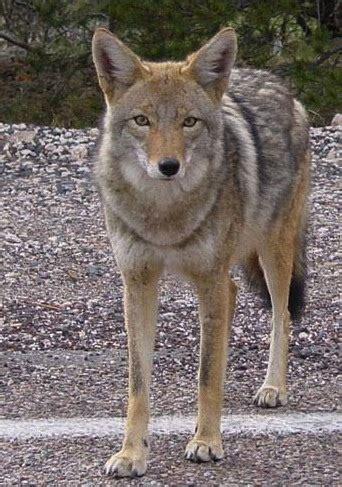 coyote wikifur  furry encyclopedia