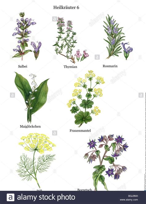 Rosemary Herb Diagram by Remedial Plants Salvia Officinalis Thyme