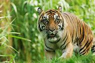 Wild Animals Tiger
