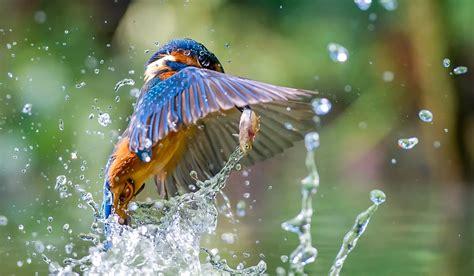 Animals Birds Water Fish Kingfisher Wallpapers Hd