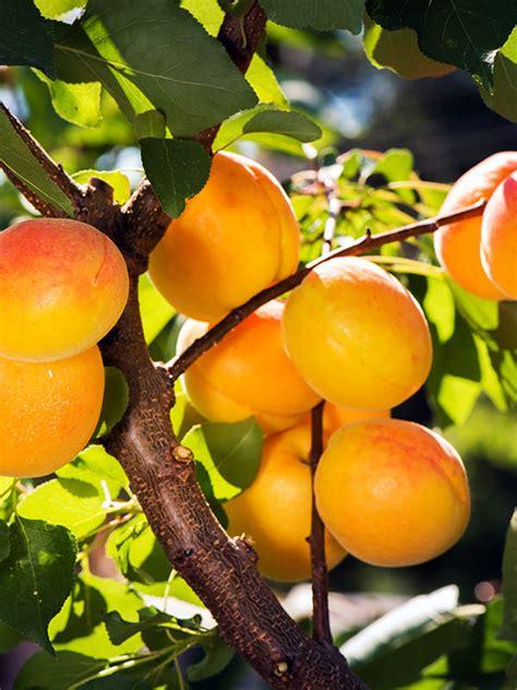 Apricot (Prunus armeniaca) - - Naturally Australian Products