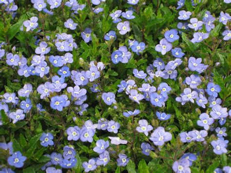 sun ground cover full sun annuals images frompo 1