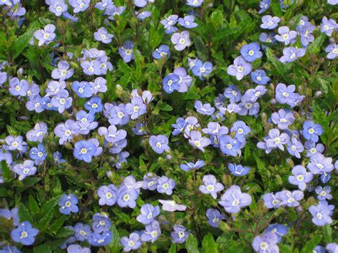 blue ground cover i love veronica georgia blue asclepias girl