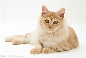 Orange Turkish Angora Cat | www.pixshark.com - Images ...