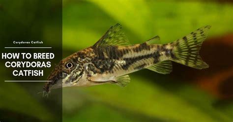 breed corydoras catfish breeding tank rasing