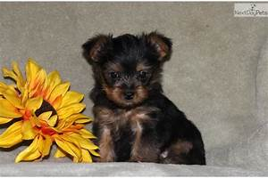 Black And Brown Yorkie Terrier Mix | black and brown ...