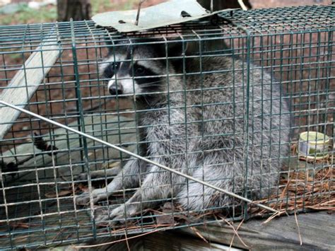 How To Catch A Raccoon In My Backyard by How To Trap A Raccoon Hgtv