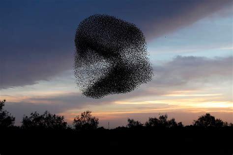 Starlings form dark cloud over Negev - CGTN