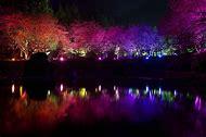 Cherry Blossom Tree Light-Up