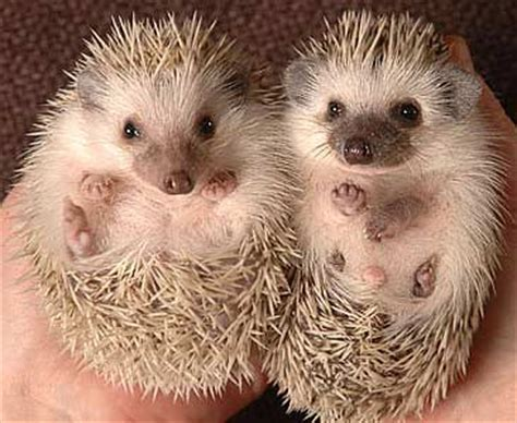 pygmy hedgehog african pygmy hedgehog fun animals wiki videos pictures stories