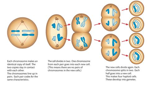 Mitosis Has How Many Cell Divisions 3 3 Meiosis Biology 2016