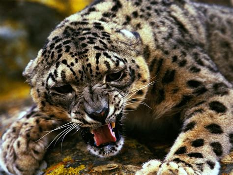 Animals Hd Wallpapers For Mobile - gepard animal hd wallpapers for mobile phones and laptops