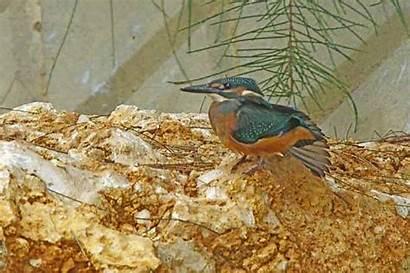 Kingfisher Motion Wildlife Gifs Bird Ryukyu Animal