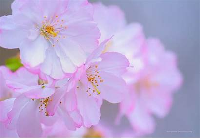Blossom Cherry Blossoms Branch Park Newark Nj