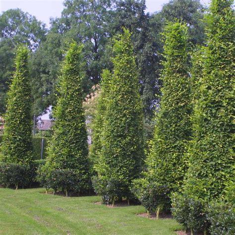 hainbuche carpinus betulus hainbuche carpinus betulus