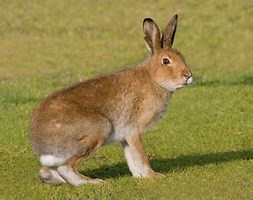 Image result for Irish Mountain Hare