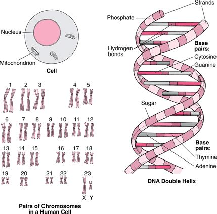 Genetic Diagram Gene Dna by Genes And Chromosomes Fundamentals Msd Manual Consumer