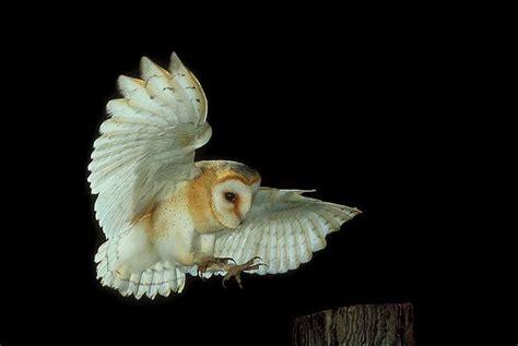 Barn Owl (tyto Alba) In Flight. Photo By Andy Harmer
