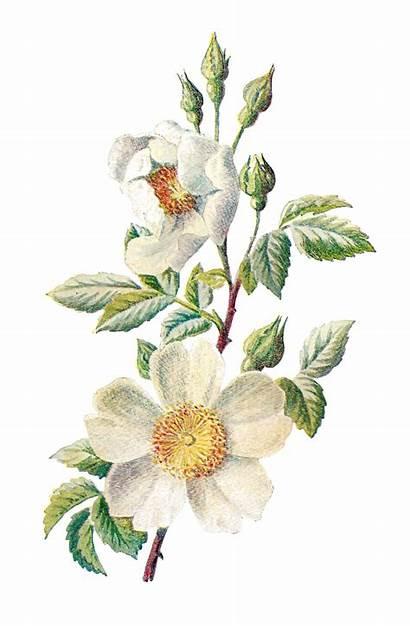 Wildflower Clipart Flower Botanical Illustration Digital Artwork