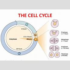 Mbbs Medicine (humanity First) Cell Division