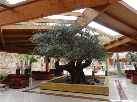Olivenbaum Im Haus quot olivenbaum im haus quot allsun hotel cormoran peguera