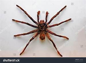 Giant Bird Spider, Colombia, South America. Stock Photo ...